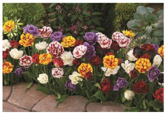 tulip_decadent